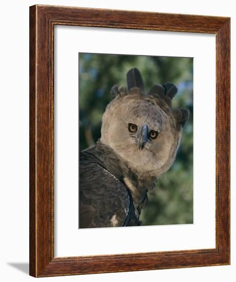 Captive Harpy Eagle-Roy Toft-Framed Photographic Print