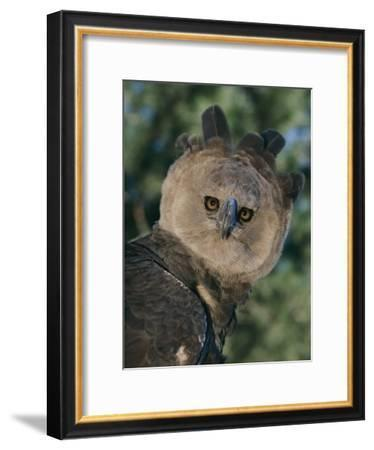 Captive Harpy Eagle-Roy Toft-Framed Photographic Print