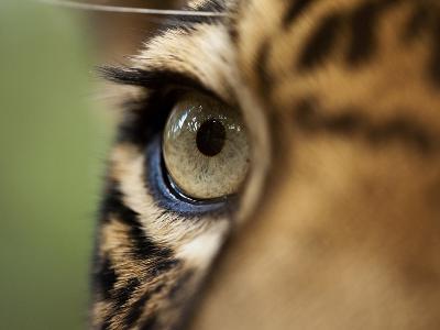 Captive Jaguar at Las Pumas Rescue Shelter-Paul Souders-Photographic Print