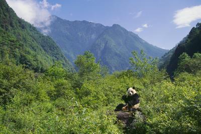https://imgc.artprintimages.com/img/print/captive-panda-eating-bamboo-at-wolong-nature-reserve_u-l-pzrgxb0.jpg?p=0