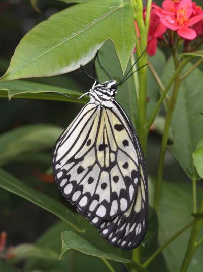 Captive Paper Kite Butterfly, Idea Leuconoe, Hanging from a Leaf-George Grall-Photographic Print