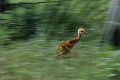 Captive-Raised Sandhill Chick Runs in Protected Yard, Audubon Nature Center, New Orleans-Michael Forsberg-Photographic Print