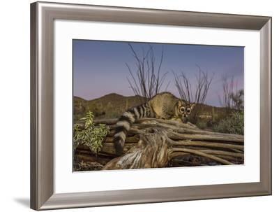 Captive Ringtail (Bassariscus Astutus) at Sunset, Arizona Sonora Desert Museum, Tucson, Arizona-Michael Nolan-Framed Photographic Print