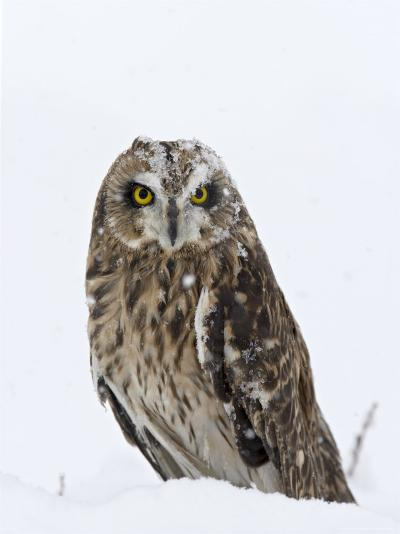 Captive Short-Eared Owl (Asio Flammeus) in the Snow, Boulder County, Colorado-James Hager-Photographic Print