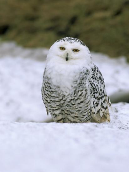 Captive Snowy Owl (Nictea Scandiaca)-Steve & Ann Toon-Photographic Print