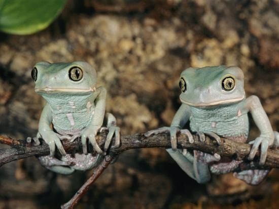 Captive Waxy Monkey Tree Frogs on a Small Branch-Roy Toft-Photographic Print