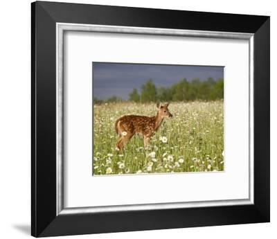Captive Whitetail Deer Fawn Among Oxeye Daisies, Sandstone, Minnesota, USA-James Hager-Framed Photographic Print