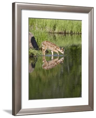 Captive Whitetail Deer Fawn and Reflection, Sandstone, Minnesota, USA-James Hager-Framed Photographic Print