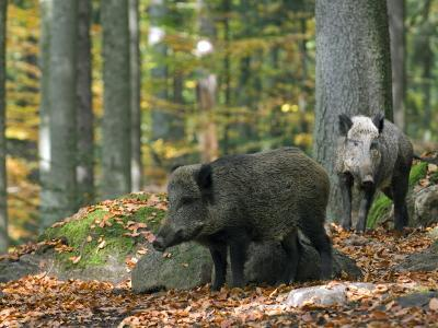 Captive Wild Boars in Autumn Beech Forest, Germany-Philippe Clement-Photographic Print