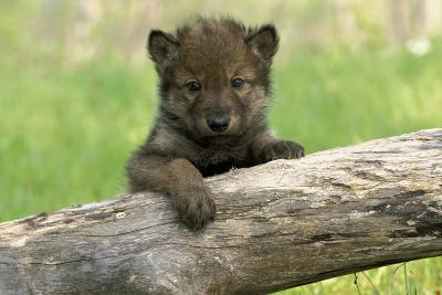 Captive Wolf Pup on Log Minnesota-Design Pics Inc-Photographic Print