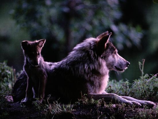 Captive Wolf Pup with Parent-Joel Sartore-Photographic Print