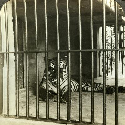 Captured Man-Eating Tiger Blamed for 200 Deaths, Calcutta, India, C1903-Underwood & Underwood-Photographic Print