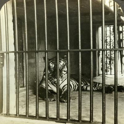 https://imgc.artprintimages.com/img/print/captured-man-eating-tiger-blamed-for-200-deaths-calcutta-india-c1903_u-l-q10lkc30.jpg?p=0