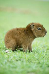 Capybara Baby, on Grass