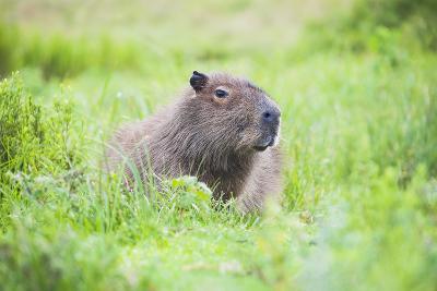 Capybara (Hydrochoerus Hydrochaeris), a Marshland Area in Corrientes Province, Argentina-Matthew Williams-Ellis-Photographic Print