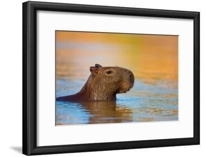 Capybara (Hydrochoerus Hydrochaeris) Swimming, Pantanal Wetlands, Brazil