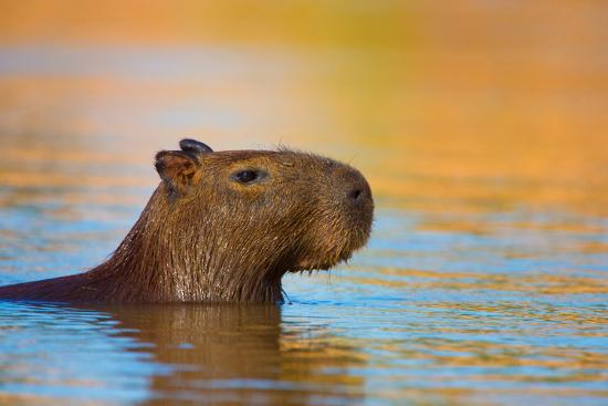 Capybara (Hydrochoerus Hydrochaeris) Swimming, Pantanal Wetlands, Brazil--Photographic Print
