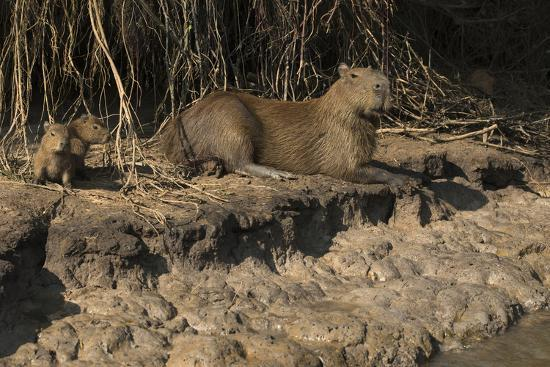 Capybara, Northern Pantanal, Mato Grosso, Brazil-Pete Oxford-Photographic Print