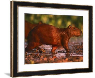 Capybara, Pantanal, Brazil-Pete Oxford-Framed Photographic Print