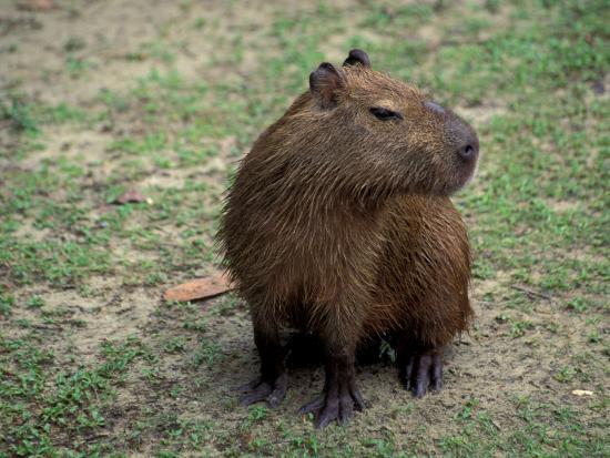 Capybara, South America-Art Wolfe-Photographic Print