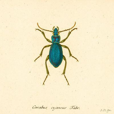 Carabus Cyaneus-A^ Poiteau-Art Print