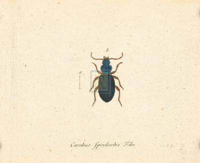 Carabus Fpinibarbis-A^ Poiteau-Premium Giclee Print