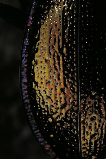 Carabus Hispanus (Ground Beetle)-Paul Starosta-Photographic Print