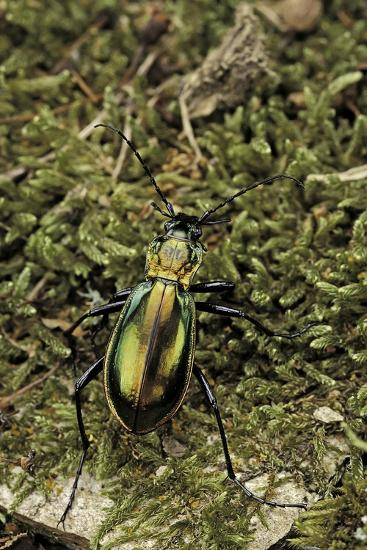 Carabus Splendens Lapurdanus (Ground Beetle)-Paul Starosta-Photographic Print