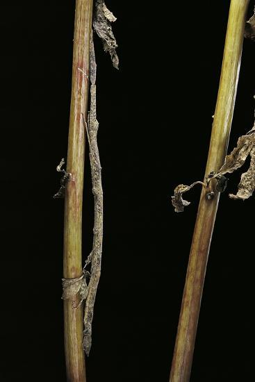Carausius Spinosus (Pincer-End Stick Insect)-Paul Starosta-Photographic Print