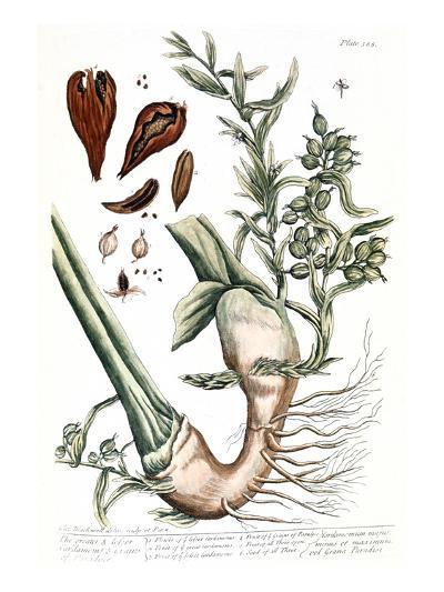 Cardamom, 1735-Elizabeth Blackwell-Giclee Print