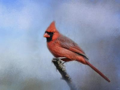 Cardinal at First Frost-Jai Johnson-Giclee Print