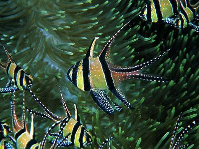 Cardinal Fishes of the Banggai-Andrea Ferrari-Photographic Print