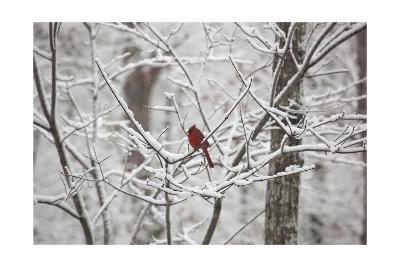 Cardinal on Snow Covered Trees-Henri Silberman-Photographic Print
