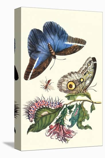 Cardinal's Guard Butterfly with Idomeneus Giant Owl Butterfly-Maria Sibylla Merian-Stretched Canvas Print