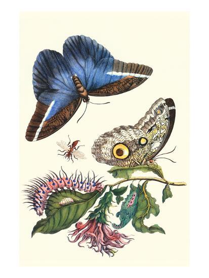 Cardinal's Guard Butterfly with Idomeneus Giant Owl Butterfly-Maria Sibylla Merian-Art Print