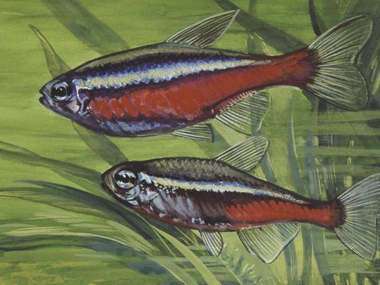 Cardinal Tetra (Paracheirodon Axelrodi), Characidae, Drawing--Giclee Print