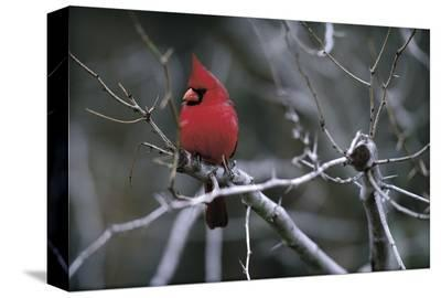 Cardinal-Art Wolfe-Stretched Canvas Print