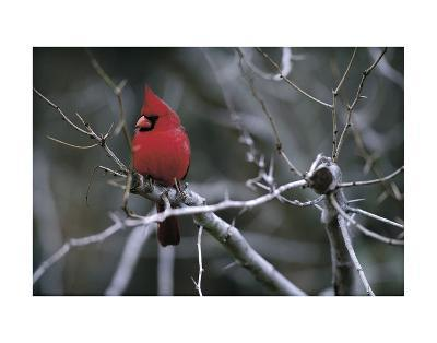 Cardinal-Art Wolfe-Art Print