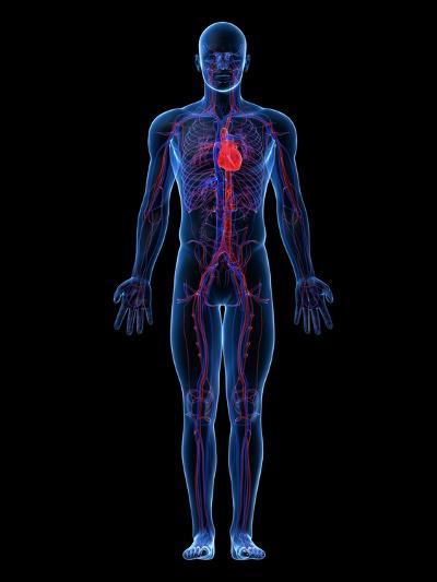 Cardiovascular System, Artwork-SCIEPRO-Photographic Print