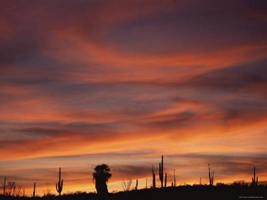 Cardon Cactus and Palm Tree Silhouette at Sunset, Baja California, Mexico-Jurgen Freund-Photographic Print