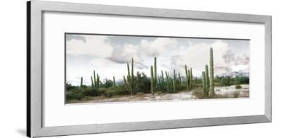 Cardon Cactus Plants in a Forest, Loreto, Baja California Sur, Mexico