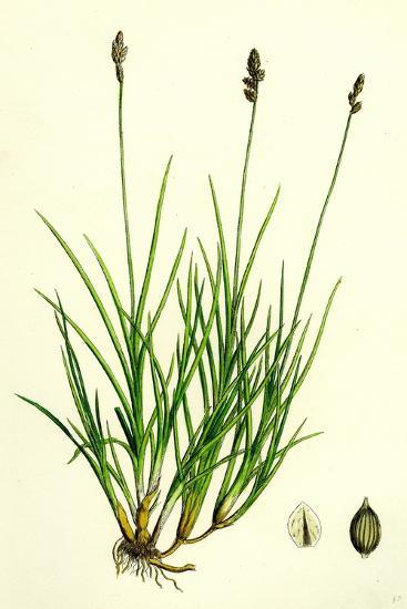 Carex Curta Var. Alpicola White Sedge Var. B--Giclee Print
