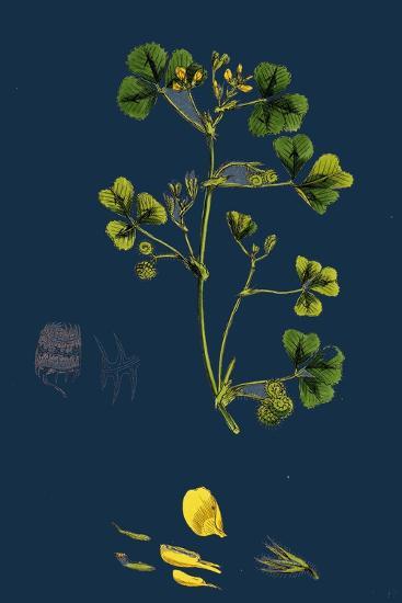Carex Paniculata; Greater Panicled Sedge--Giclee Print