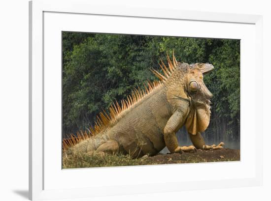 Caribbean, Costa Rica. Profile of green iguana-Jaynes Gallery-Framed Premium Photographic Print