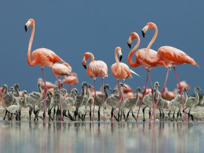 Caribbean Flamingo (Phoenicopterus Ruber) Adults Guarding Chick-Claudio Contreras-Photographic Print