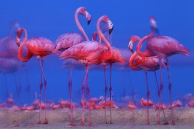 Caribbean Flamingo (Phoenicopterus Ruber) Preparing to Sleep-Claudio Contreras-Photographic Print