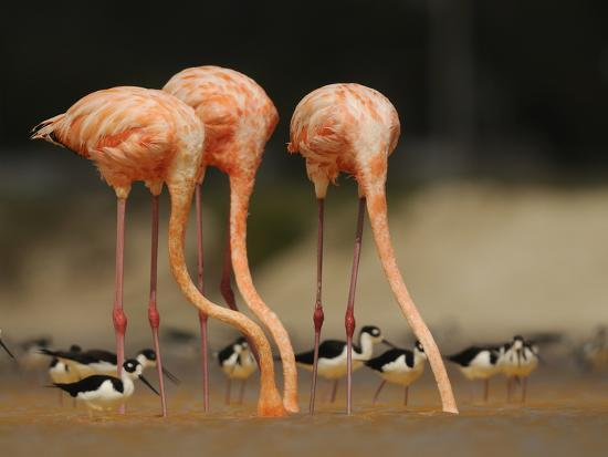 Caribbean Flamingos and Black Necked Stilts Feed in a Lagoon-Klaus Nigge-Photographic Print