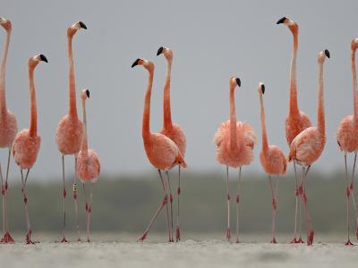 Caribbean Flamingos in Display Behavior-Klaus Nigge-Photographic Print