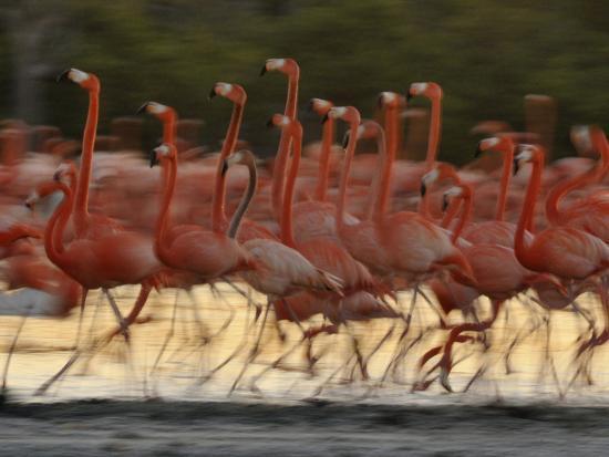 Caribbean Flamingos Run with Raised Heads in Display Behavior-Klaus Nigge-Photographic Print