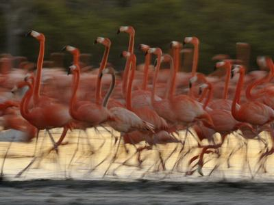 https://imgc.artprintimages.com/img/print/caribbean-flamingos-run-with-raised-heads-in-display-behavior_u-l-phuhsm0.jpg?p=0